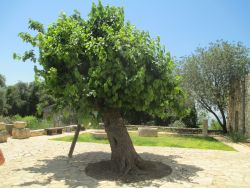 Old mulberry tree in Kibbutz Hanita.