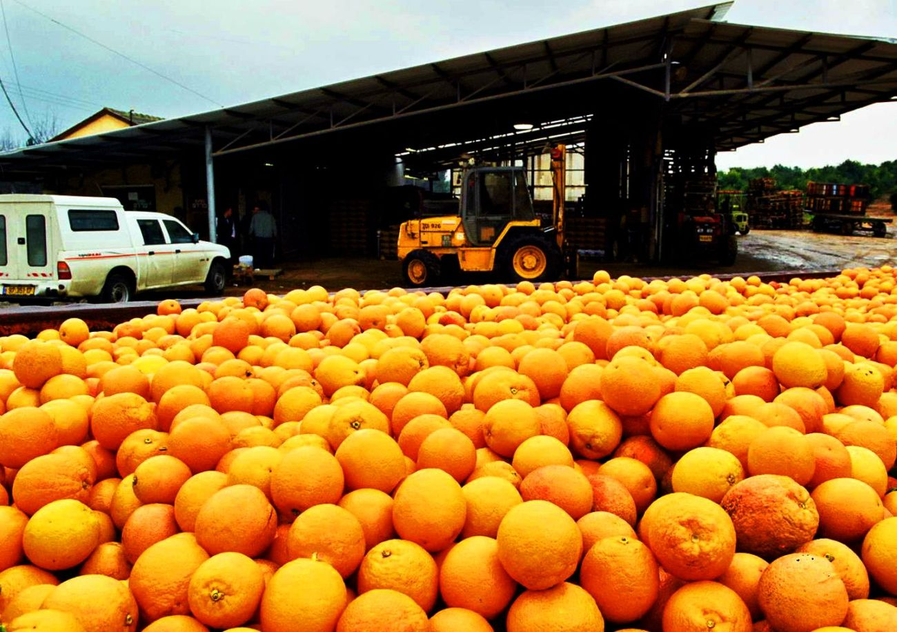 Agriculture in Israel: orange crop ready for export.