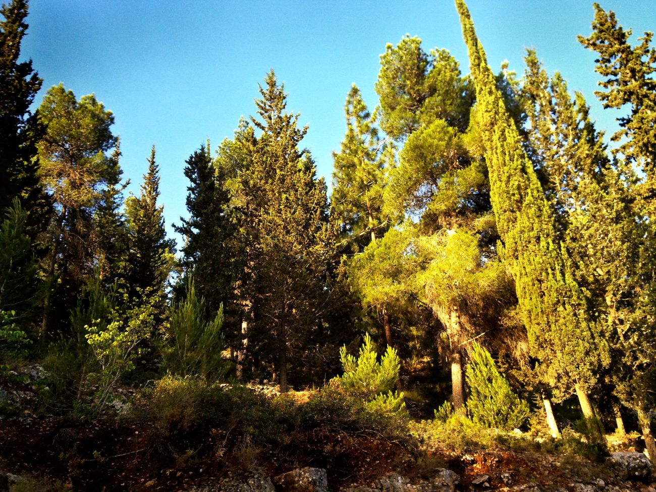 PikiWiki_Israel_8883_Pines_and_cypresses_on_the_western_slopes_of_Mount_t