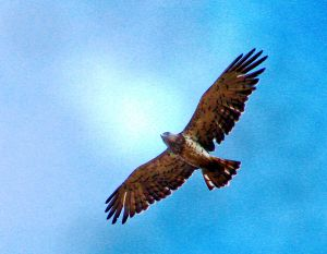 Short-toed Eagle (Circaetus gallicus) in flight, Mazkeret Batya, Israel.