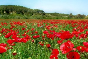 Poppies (Papaver umbonatum) near Beit Guvrin, Israel.