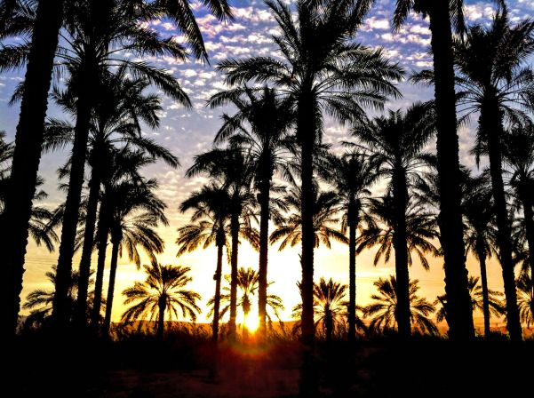 Palm Trees at sunrise, Beit She'an, Israel.