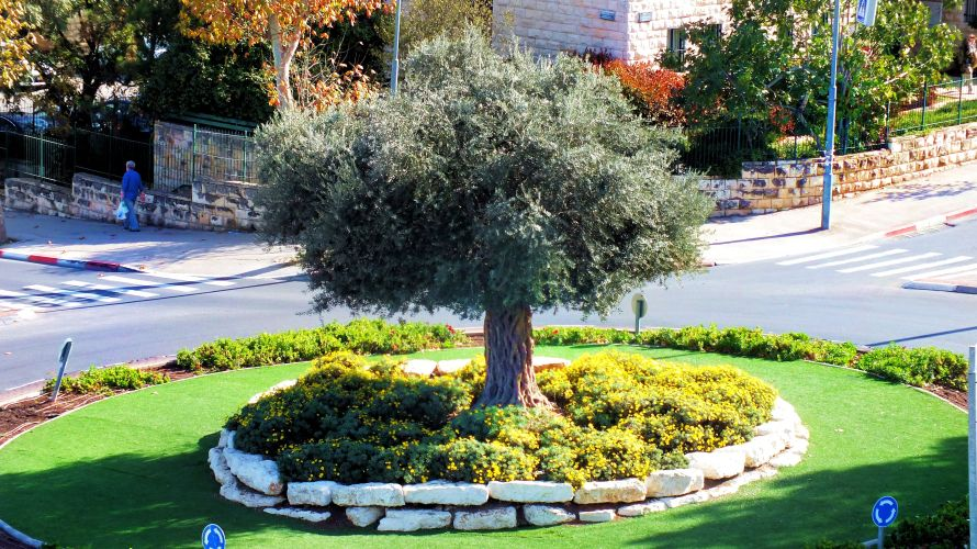 Olive tree at the corner of Afarsemon and Hamor Streets, Jerusalem, Israel.