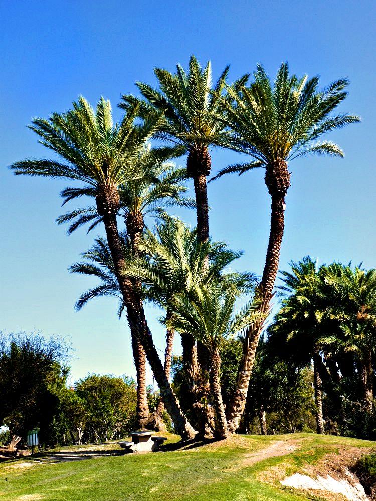 Gan_haShlosha_IL_PalmTrees_t