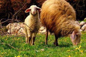 Sheep grazing in Israel.