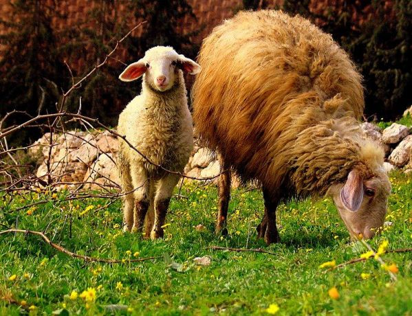 Sheep grazing in Israel.