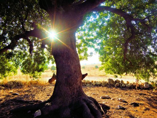 Sunlight pierces a shady Pistacia atlantica, Elah Valley, Israel.