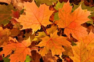 Maple leaves scattered on the ground in Brampton, Ontario, Canada.