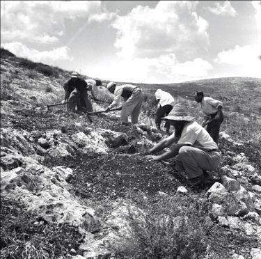 Planting of the Gilboa Mountains (circa. 1960).
