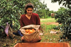 Picking oranges, Kibbutz Gan Shmuel (Hebrew: גַּן שְׁמוּאֵל, lit. Shmuel's Garden).