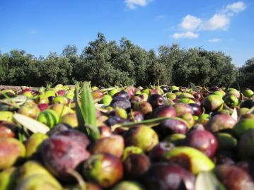 9_Olive harvest in Israel