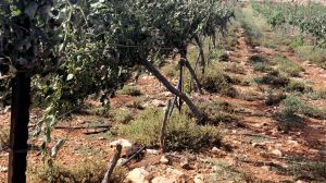 An entire vineyard destroyed by agro-terrorism, 2018.