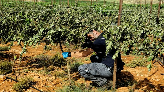 Vineyard owner inspects the severed vines destroyed by agro-terrorists, 2018.