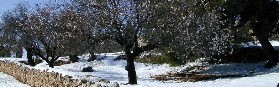 Almond tree in the snow north of Bethlehem_By Todd BolenBiblePlaces.com_banner